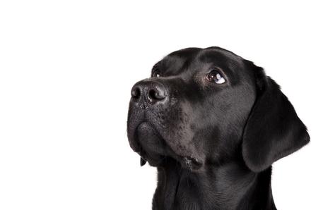 Portret van een zwarte Labrador die omhoog kijkt (geïsoleerd op wit, met lege ruimte voor uw tekst) Stockfoto