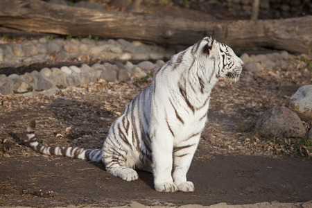 relict: Closeup of a sitting white tiger