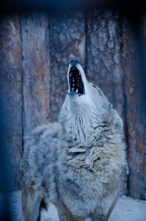 shallow dof: Howling wolf (in blue tones, retro style, shallow DOF)
