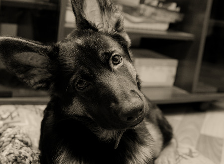 head tilted: Cute German shepherd puppy with long ears and head tilted (in sepia, retro style, with focus on the eyes)