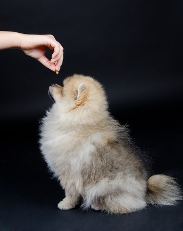 obedient: Obedient Pomeranian puppy waiting for a treat from the owner hand (on a black background)