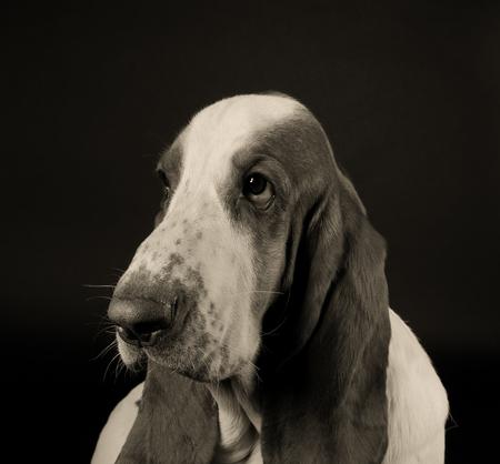 hound: Sad Basset Hound (in sepia, vintage style) Stock Photo
