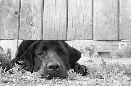 木製のフェンスの下で待っているかわいい悲しい犬 (の目に焦点を当てると、B&W)