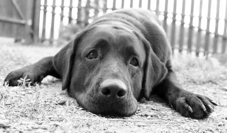 black labrador: Cute sad dog missing its owner (in B&W, retro style)