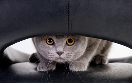 Funny Scottish cat looking through a hole (isolated on white)