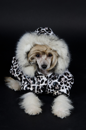 Cute Chinese Crested dog (Powderpuff variety, puppy) wearing a spotted winter costume (on a black background)