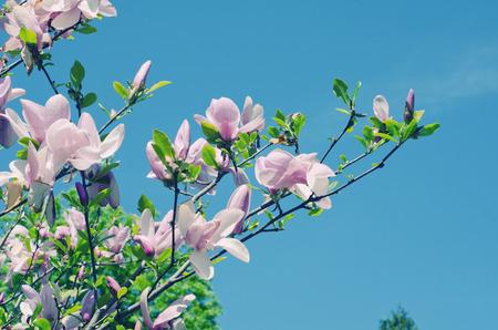 dof: Pink magnolia flowers (shallow DOF, retro style)
