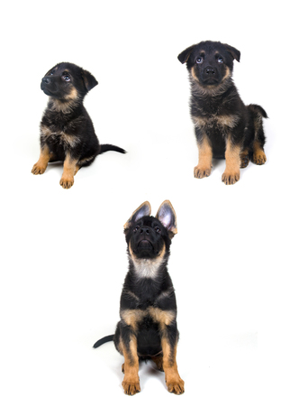 two months: Stages of growth of a German shepherd puppy (ages of one month, two months and three months)