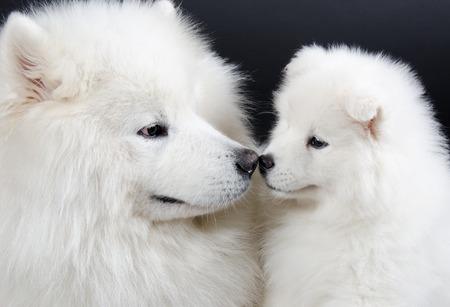 siberian samoyed: Family of two Samoyed dogs (isolated on a black background)