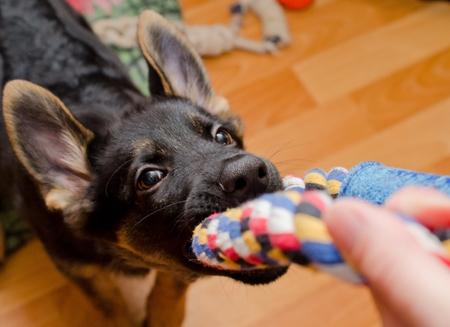 綱引きおもちゃ (鼻にセレクティブ フォーカス) を引いて面白いジャーマン シェパードの子犬