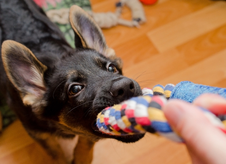 Funny German shepherd puppy pulling a tug toy (selective focus on the nose) Standard-Bild