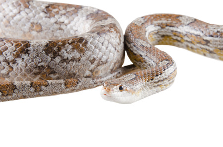 coiled snake: Closeup of a coiled corn snake (isolated on white)