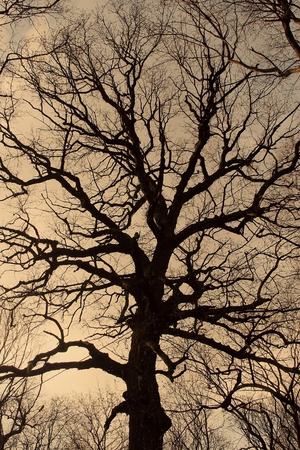 spooky forest: Silhouette of a big bare tree in the dusk (as a background, retro style)