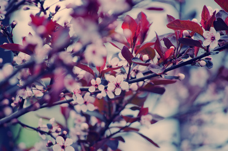 cherrytree: Blurred cherry-tree flowers as a floral background
