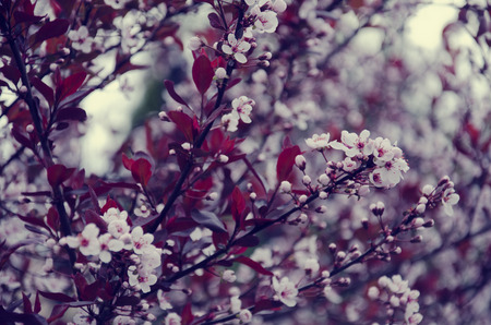 cherrytree: Blurred twigs with the first cherry-tree flowers as a floral background (retro style)