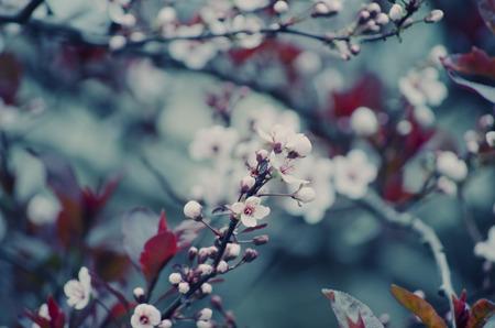 cherrytree: Blurred cherry-tree flowers Stock Photo