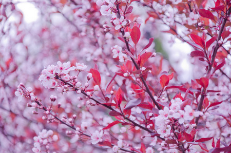 cherrytree: Blurred twigs with the first cherry-tree flowers as a beautiful pink floral background