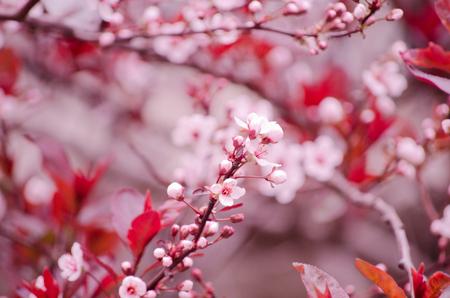 cherrytree: Beautiful pink cherry-tree flowers Stock Photo