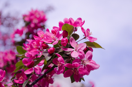cherrytree: Beautiful pink flowers (branch with the first cherry-tree flowers) Stock Photo