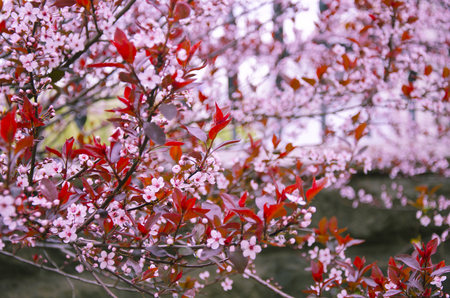cherrytree: First cherry-tree flowers as a bright pink floral background