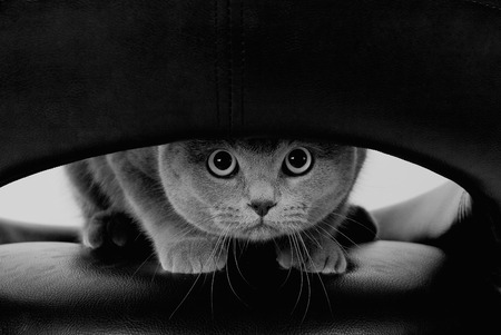 round eyes: Funny Scottish cat with big round eyes looking through a hole (in black and white, retro style)