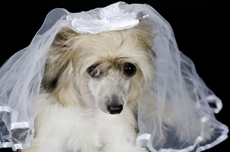 Portrait of a sad Chinese Crested dog (Powderpuff variety) wearing a bridal veil, isolated on black