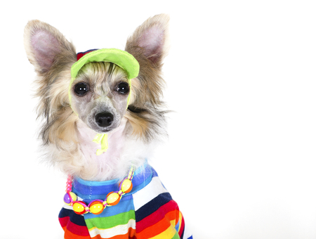 Cute Chinese Crested dog (Powderpuff variety, puppy) wearing a bright multicolored shirt, beads and a hat, on a white background with copy space Stock Photo