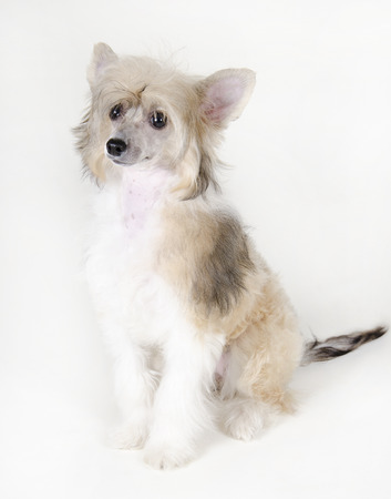 Cute Chinese Crested dog (Powderpuff variety, puppy) on a white background Stock Photo
