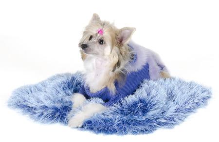 Cute Chinese Crested dog (Powderpuff variety, puppy) lying on a blue fur rug