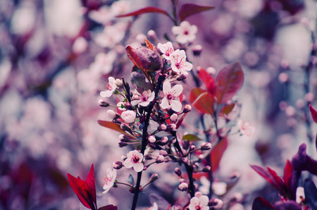 cherrytree: Blurred cherry-tree flowers as a floral background (shallow DOF with selective focus on the buds, retro style)