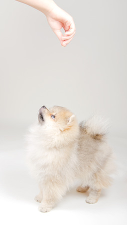 obedient: Obedient Pomeranian puppy waiting for a treat from the owner hand (on a light gray background)