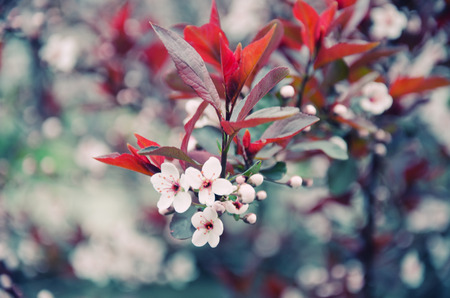 cherrytree: Blurred cherry-tree flowers as a floral background (shallow DOF, retro style)
