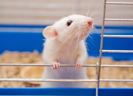 Funny curious white rat looking out of a cage (shallow DOF, selective focus on the rat nose and whiskers) Stock Photo