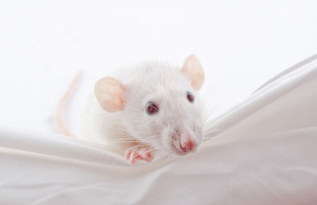 peeping: Funny big-eared white rat peeping over the edge (selective focus on the nose and whiskers)
