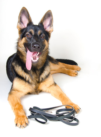 readiness: German shepherd with a leather leash ready for a walk (on white)