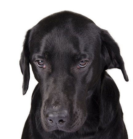 Portrait of a gloomy black Labrador as a gloomy dog concept (isolated on white), selective focus on the dog eyes Stock Photo - 55102311