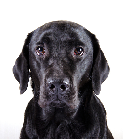 Portrait of a black Labrador Retriever (isolated on white) Фото со стока
