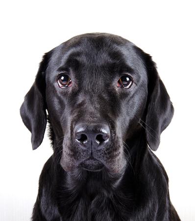 black labrador: Portrait of a black Labrador Retriever (isolated on white) Stock Photo