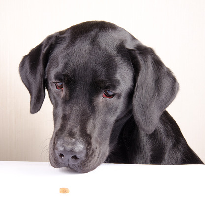 Funny black Labrador Retriever looking at a single piece of dry dog food lying on the table (selective focus on the dog eyes) Stock Photo