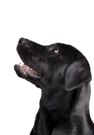 labrador teeth: Black Labrador Retriever looking up in surprise (isolated on white)