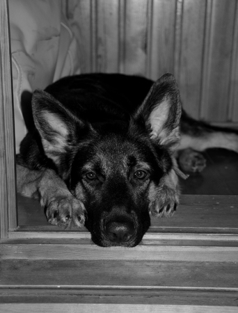 Sad German shepherd puppy lying in the doorway and waiting for its owner (selective focus on the eyes) in black and white, vintage style