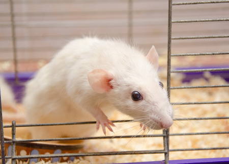 Cute curious white rat looking out of a cage (selective focus on the rat eyes) Stock Photo