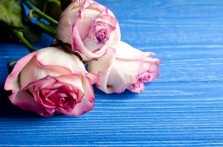 Three beautiful dry roses against a bright blue wooden background, with copy space for your text