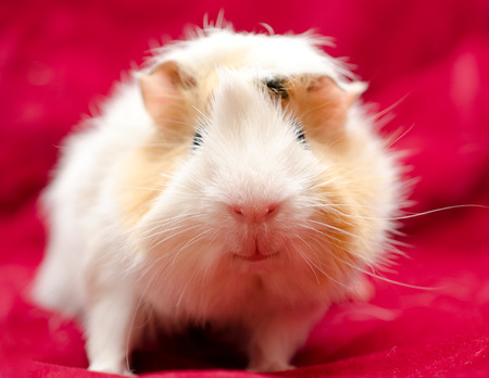 Cute funny guinea pig on a red background, selective focus on the guinea pig nose