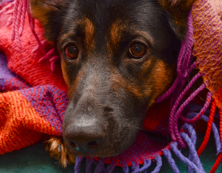German shepherd dog under a cozy plaid blanket (selective focus on the dog eyes)