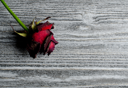Beautiful dry rose against an aged gray wooden background, with copy space for your text