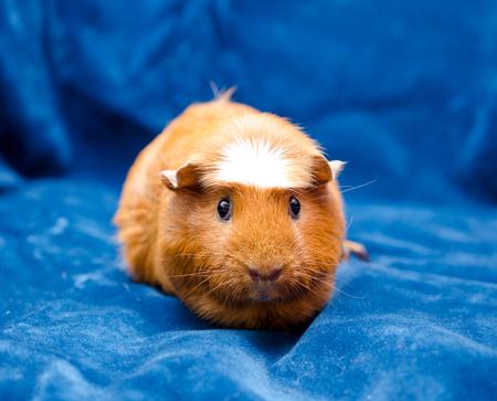 cavie: Cute funny guinea pig on a blue background