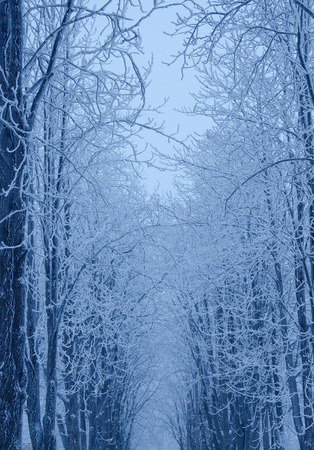 Winter in the snowy forest (in blue colors) Stock Photo