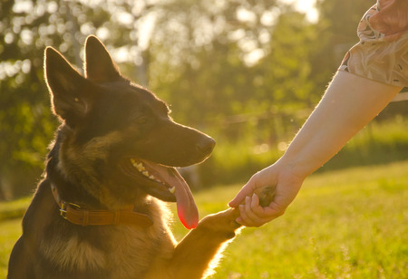 German shepherd giving its paw to its human (in the golden rays of sunlight at the sunset) Stock Photo
