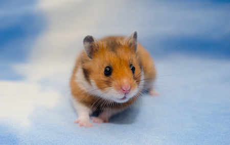 Cute tiny Syrian hamster on a bright blue background Stock Photo